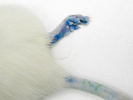 rato-azul-2