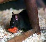 Rattus rattus, a espécie responsável pela disseminação da peste durante a idade média.