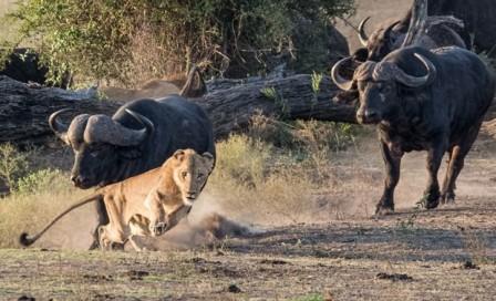 Leão - Búfalos